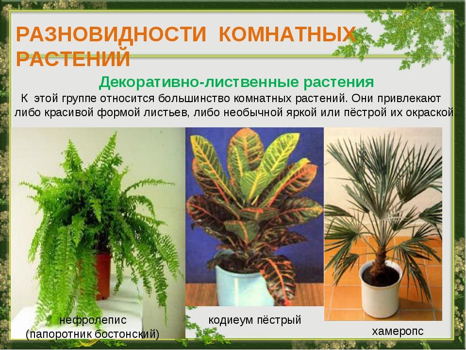 РАЗНОВИДНОСТИ КОМНАТНЫХ РАСТЕНИЙ Декоративно-лиственные растения К этой групп...