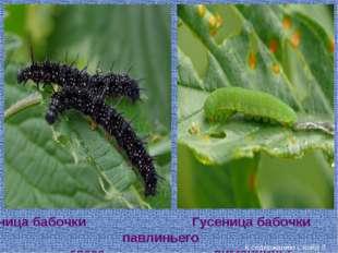 Гусеница бабочки павлиньего глаза Гусеница бабочки лимонницы К содержанию Сла