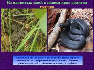 Из ядовитых змей в нашем крае водится гадюка Цвет гадюки– от серого до черног