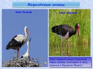 Аист белый Аист чёрный Аист чёрный (ведет скрытый образ жизни, поселяясь в ле