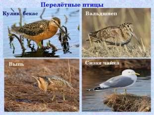 Перелётные птицы Кулик бекас Выпь Вальдшнеп Сизая чайка