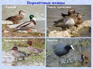 Перелётные птицы Чирок трескунок Кряква Чирок-свистунок Лысуха