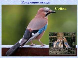 Кочующие птицы Сойка