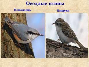 Оседлые птицы Поползень Пищуха