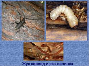 Жук короед и его личинка