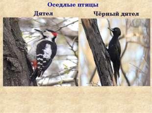 Дятел Чёрный дятел Оседлые птицы
