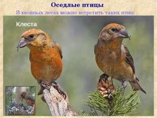 В хвойных лесах можно встретить таких птиц: Оседлые птицы Клеста