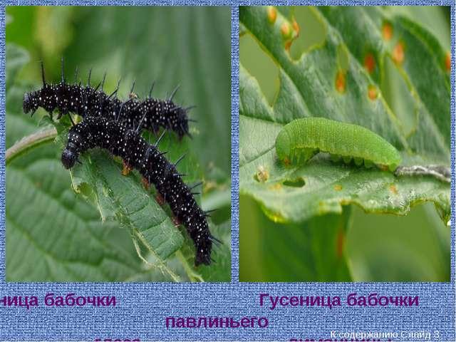 Гусеница бабочки павлиньего глаза Гусеница бабочки лимонницы К содержанию Сла...
