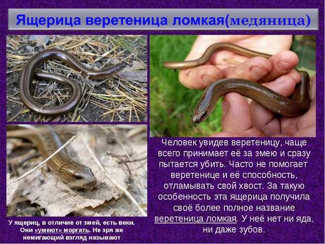 Человек увидев веретеницу, чаще всего принимает её за змею и сразу пытается у...