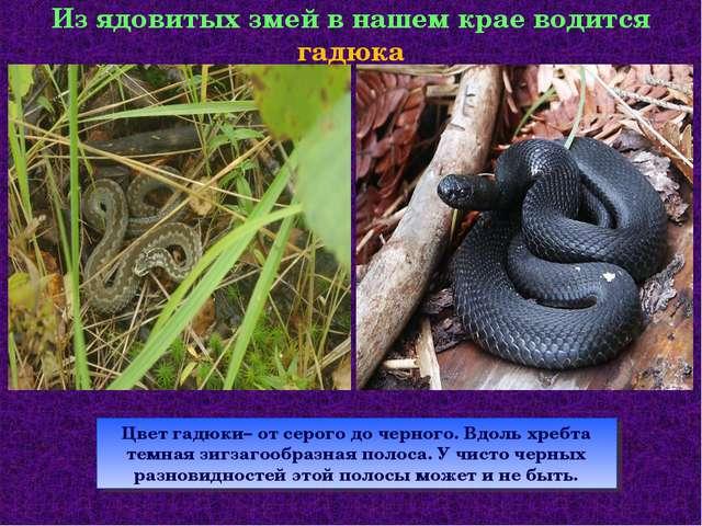 Из ядовитых змей в нашем крае водится гадюка Цвет гадюки– от серого до черног...