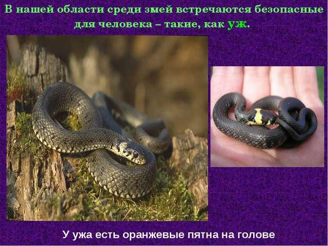 В нашей области среди змей встречаются безопасные для человека – такие, как у...