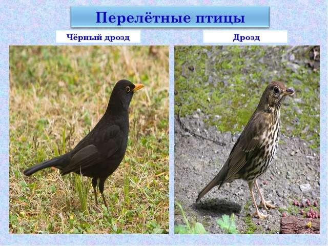 Чёрный дрозд Дрозд
