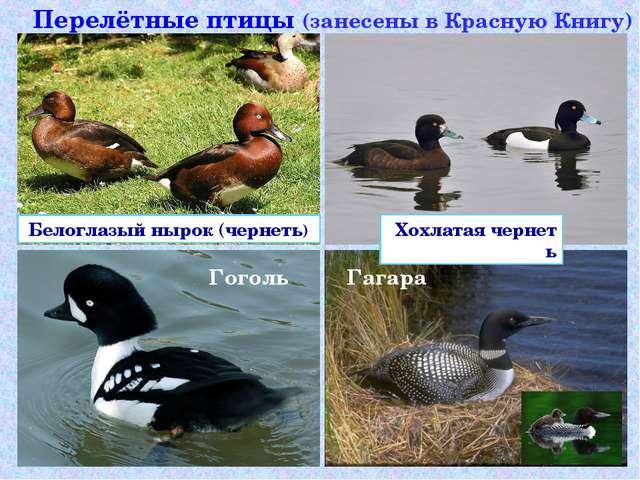 Перелётные птицы (занесены в Красную Книгу) Белоглазый нырок (чернеть) Гоголь...