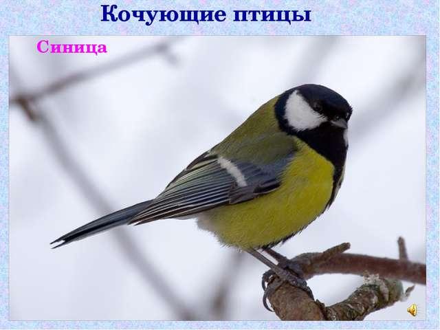 Кочующие птицы Синица