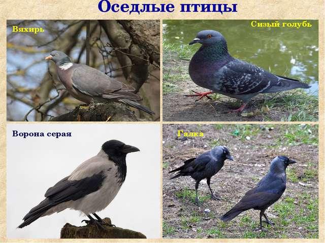 Оседлые птицы Ворона серая Сорока Галка Сизый голубь Вяхирь