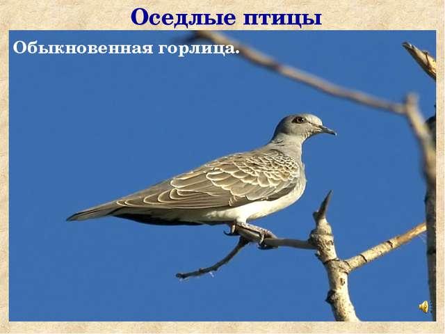 Оседлые птицы Обыкновенная горлица.