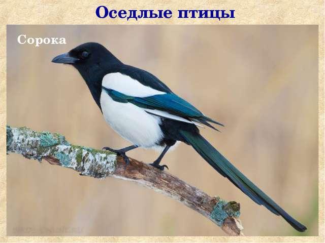 Оседлые птицы Сорока