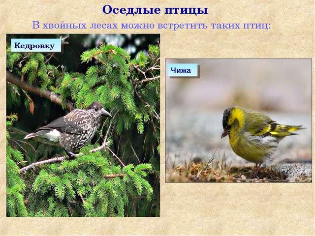 В хвойных лесах можно встретить таких птиц: Оседлые птицы Чижа Кедровку