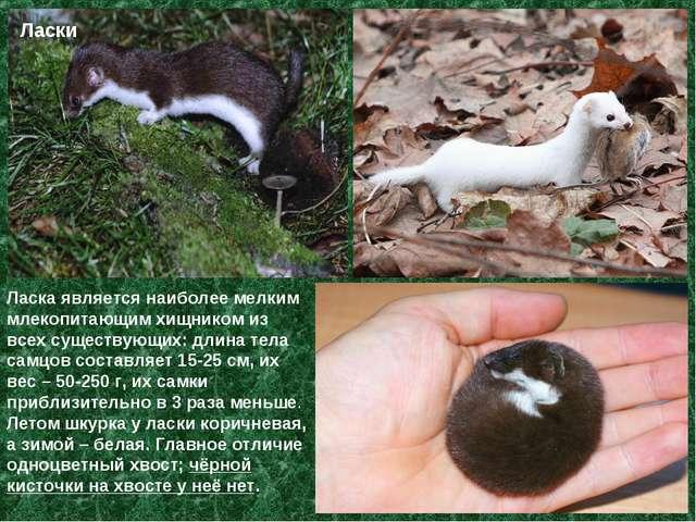 Ласки Ласка является наиболее мелким млекопитающим хищником из всех существую...