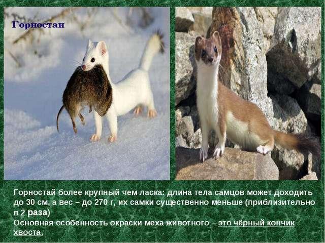 Горностай более крупный чем ласка: длина тела самцов может доходить до 30 см,...