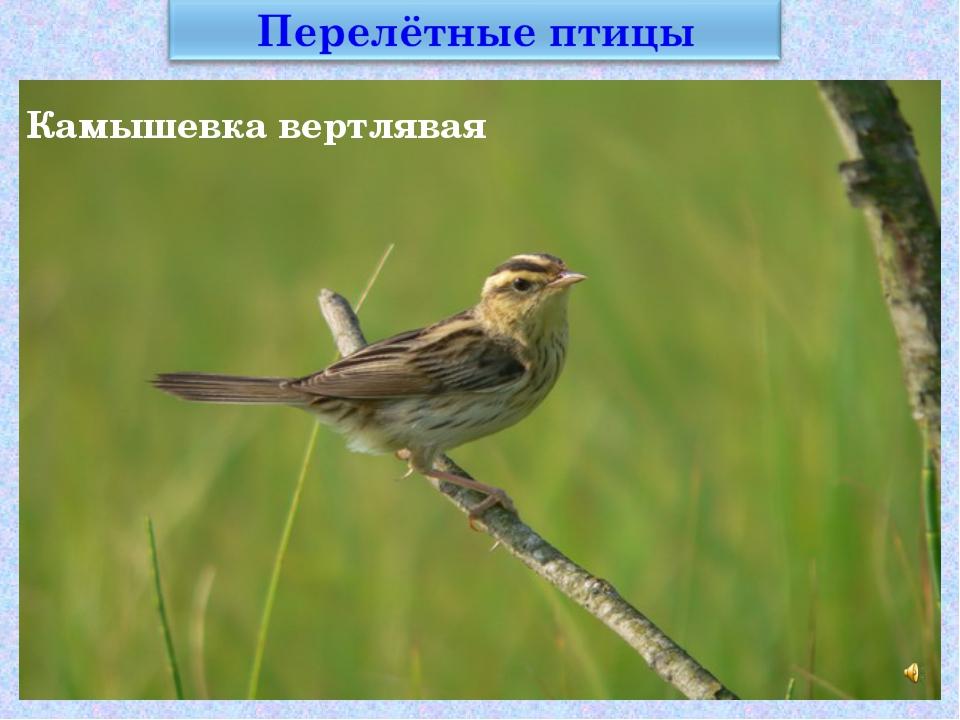 Камышевкавертлявая