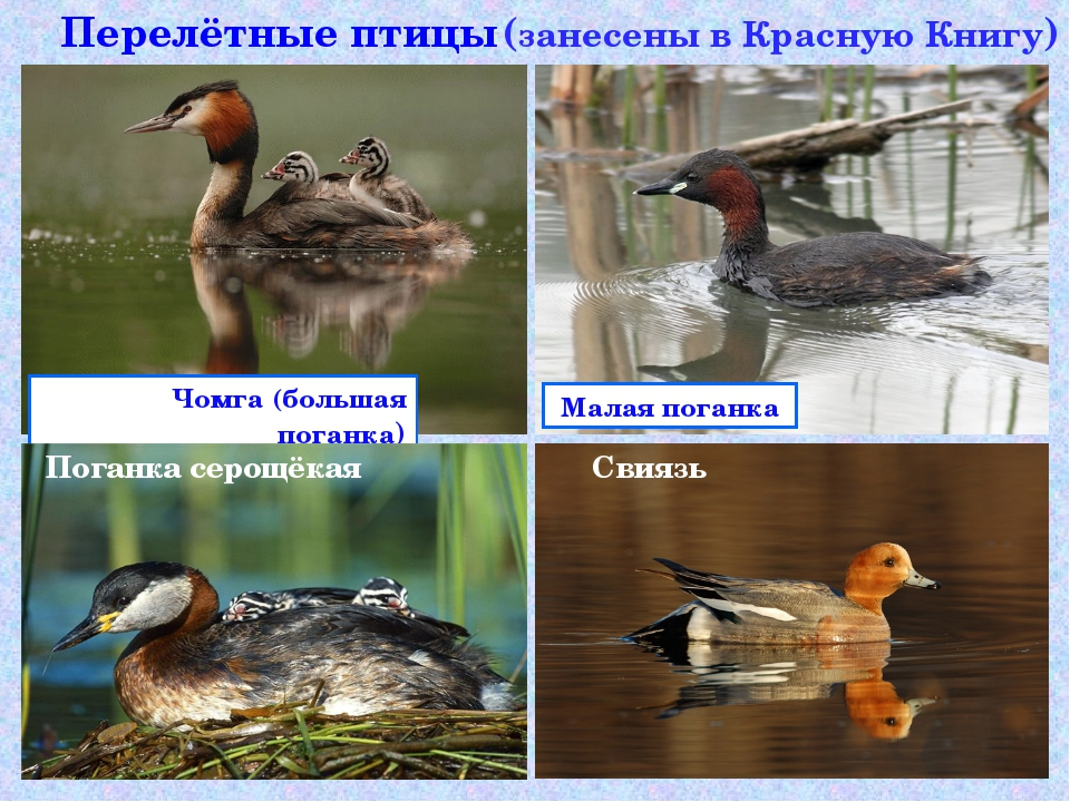 Перелётные птицы Чомга (большая поганка) Малаяпоганка Поганкасерощёкая  (...