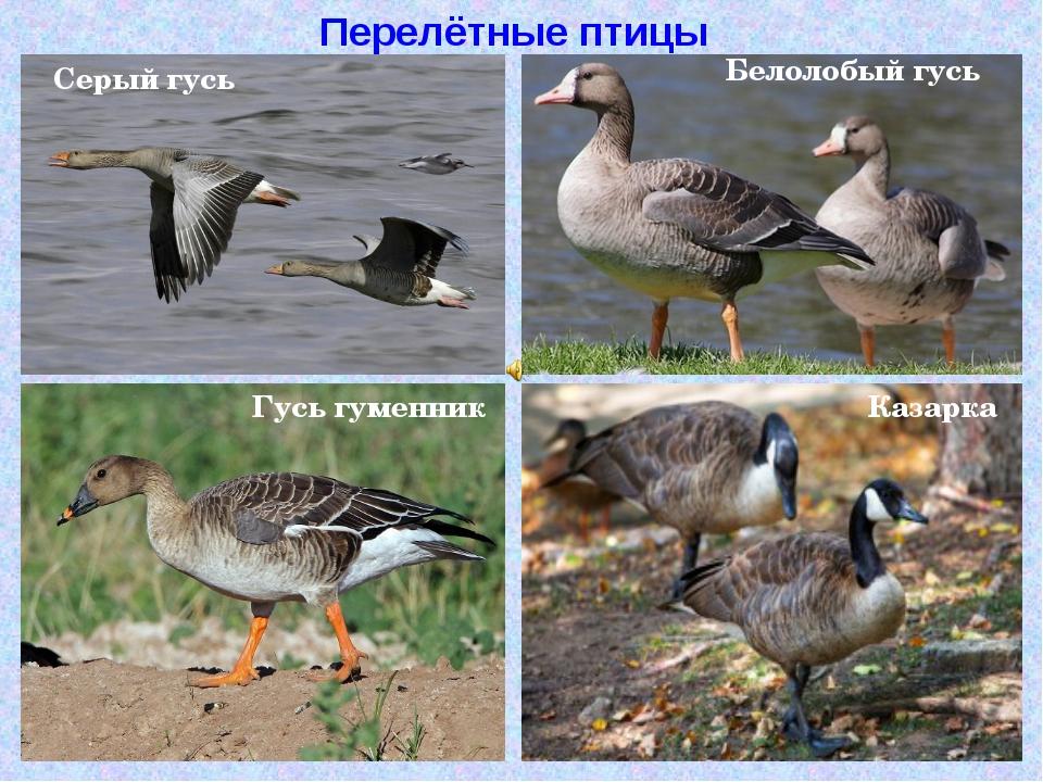 Перелётные птицы Серый гусь Белолобый гусь Гусь гуменник Казарка
