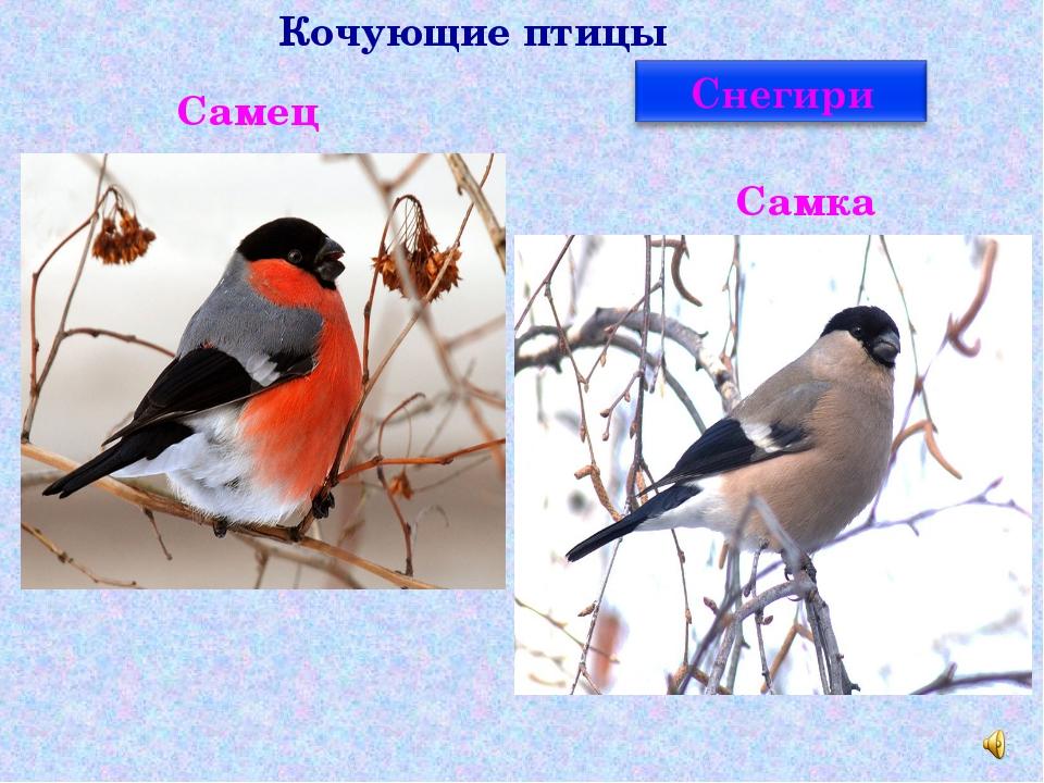 Кочующие птицы Самец Самка