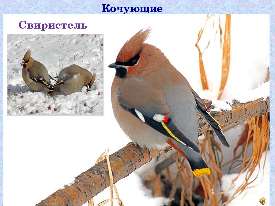 Кочующие птицы Свиристель