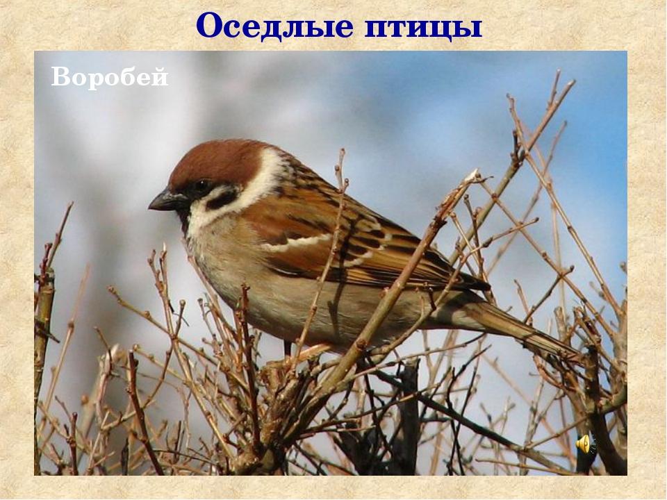 Оседлые птицы Воробей