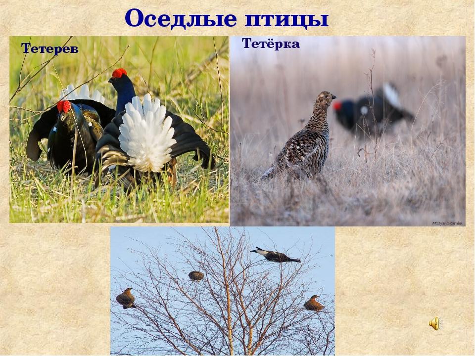 Оседлые птицы Тетёрка Тетерев