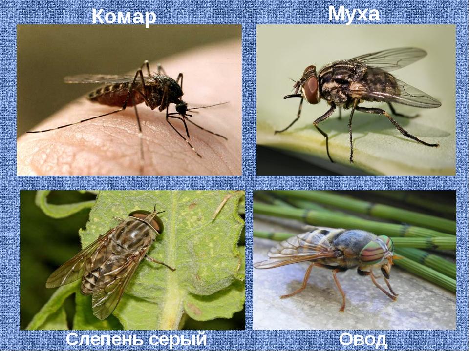 Слепень серый Комар Муха Овод