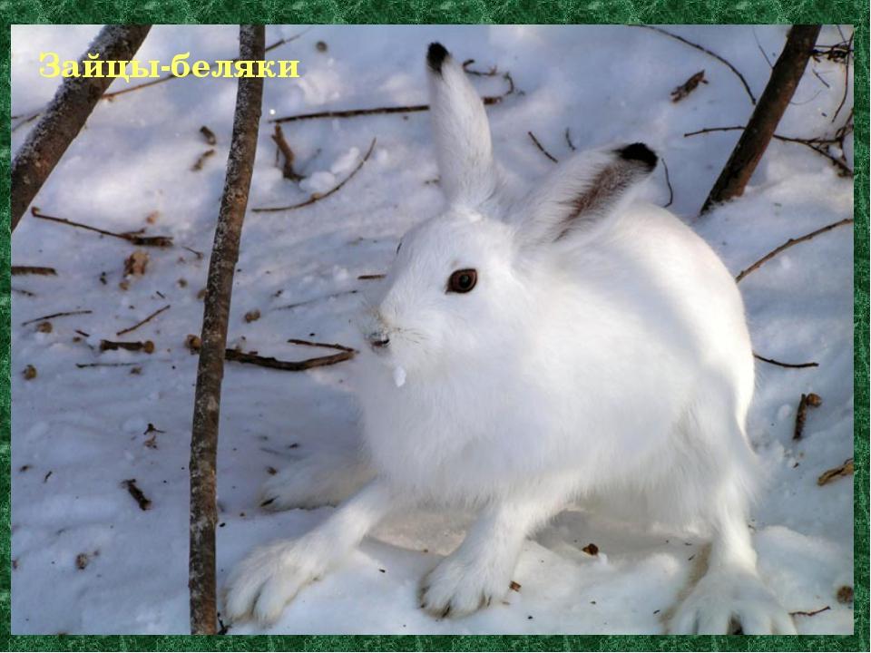 Зайцы-беляки