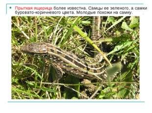 Прыткая ящерица более известна. Самцы ее зеленого, а самки буровато-коричнево