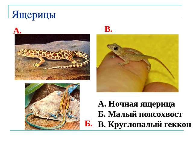 Ящерицы А. Ночная ящерица Б. Малый поясохвост В. Круглопалый геккон А. Б. В.