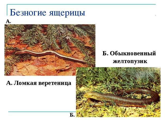 Безногие ящерицы А. Ломкая веретеница Б. Обыкновенный желтопузик А. Б.