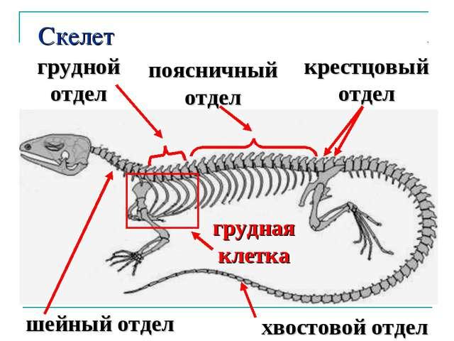 Скелет шейный отдел хвостовой отдел грудной отдел поясничный отдел крестцовый...