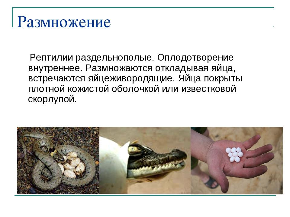 Размножение Рептилии раздельнополые. Оплодотворение внутреннее. Размножаются...