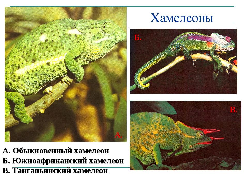 Хамелеоны А. Обыкновенный хамелеон Б. Южноафриканский хамелеон В. Танганьинск...