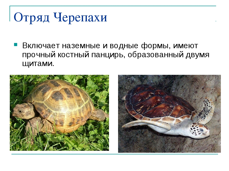 Отряд Черепахи Включает наземные и водные формы, имеют прочный костный панцир...