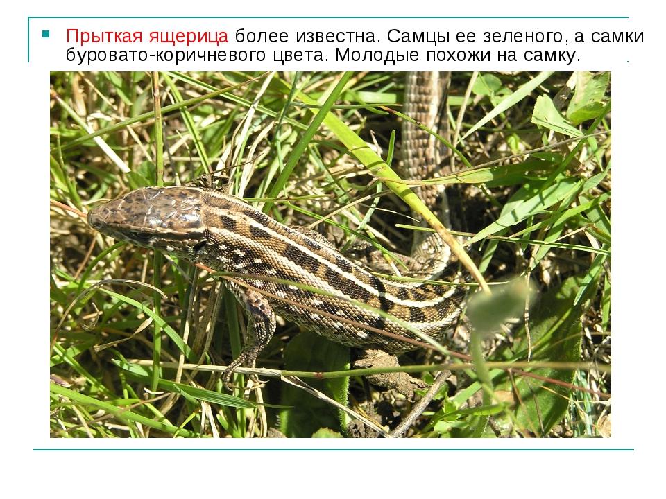 Прыткая ящерица более известна. Самцы ее зеленого, а самки буровато-коричнево...