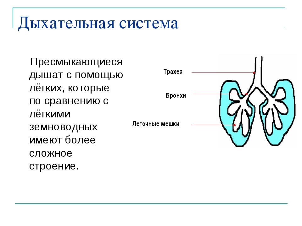 Дыхательная система Пресмыкающиеся дышат с помощью лёгких, которые по сравнен...