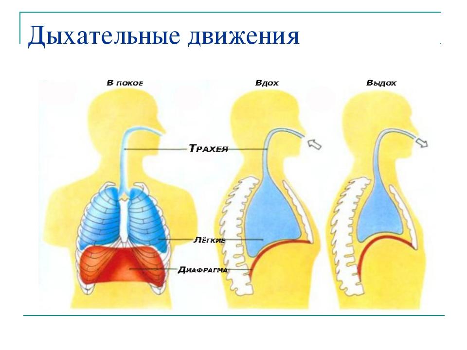 Дыхательные движения