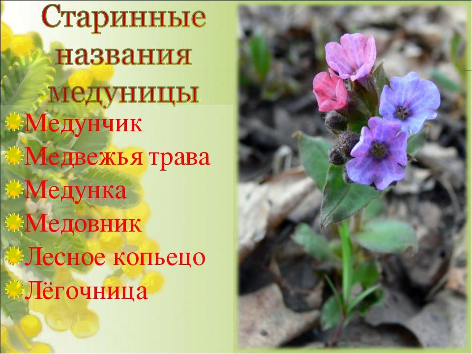 Медунчик Медвежья трава Медунка Медовник Лесное копьецо Лёгочница