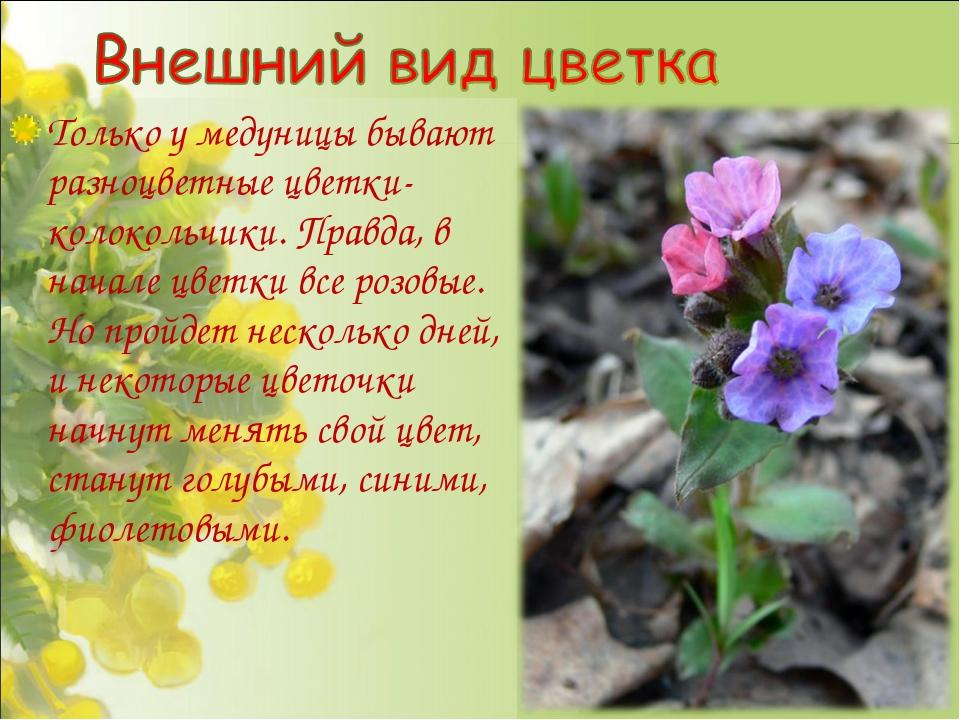 Только у медуницы бывают разноцветные цветки-колокольчики. Правда, в начале ц...