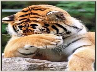 Интересные факты из жизни тигров Тигры различают цвета. Ночью они видят в пят