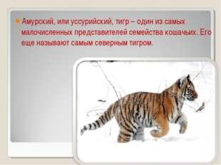 Амурский, или уссурийский, тигр – один из самых малочисленных представителей