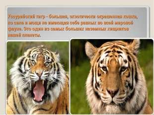 Уссурийский тигр - большая, экзотически окрашенная кошка, по силе и мощи не и
