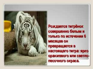 Рождается тигрёнок совершенно белым и только по истечении 6 месяцев он превра