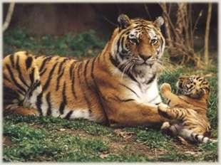 Амурские тигры живут поодиночке. Но самки спят вместе со своими тигрятами.
